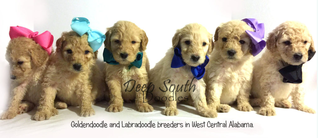 DEEP SOUTH DOODLES – Home of Goldendoodles and Labradoodles